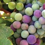 Wijn – De druiven